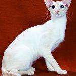 pisica-colorpoint-shorthair-poze