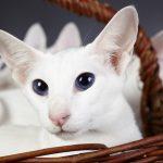 Pisica-colorpoint-shorthair-pui-alb