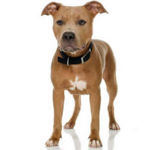 caine Pit Bull Terrier