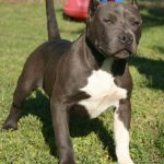caine Pit Bull Terrier in parc
