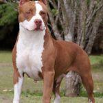 caine Pit Bull Terrier femela afara