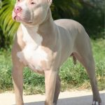 caine Pit Bull Terrier la soare
