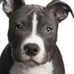 caine Pit Bull Terrier cap bot frumos