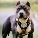 caine Pit Bull Terrier urechi taiate cu ham