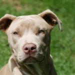 caine Pit Bull Terrier mic