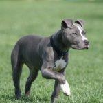 caine Pit Bull Terrier la plimbare