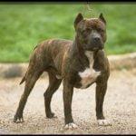 caine Pit Bull Terrier in lesa