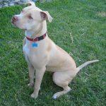 caine Pit Bull Terrier pozitia sezi