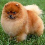 caine Pomeranian