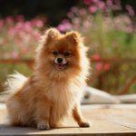 caine Pomeranian mic in gradina