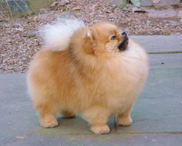 Caine Pomeranian De Concurs