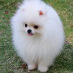 caine Pomeranian alb cu limba roz
