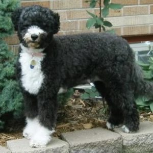 caine Portuguese Water Dog