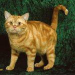 poze-pisica-american-shorthair-orange