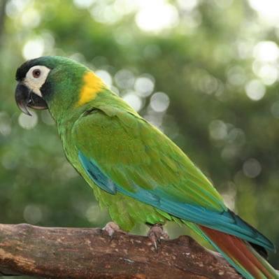 Papagalul Primolius