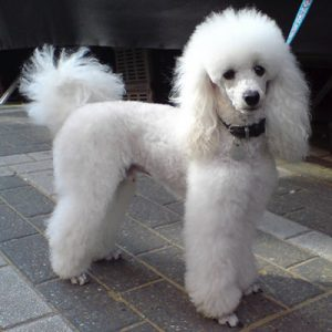 caine Pudel caniche poodle