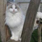 Ragdoll pisica in curte