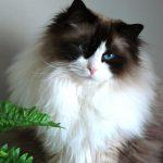 Ragdoll pisica la ghiveci
