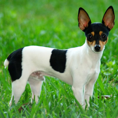 Rasa Rat Terrier