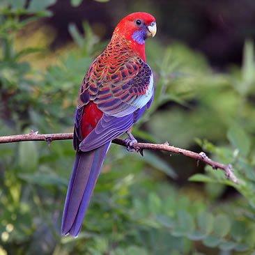 Papagalul Rosella