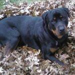 Rottweiler caine in frunze