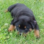 caine Rottweiler catel in iarba