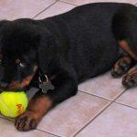 Rottweiler catel cu mingia de tenis