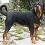 Rottweiler caine in curte