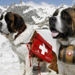 Saint Bernard caine prim ajutor munte