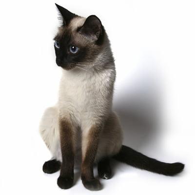 Pisica Siameza