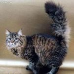 Siberiana pisica neagra