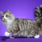 Siberiana pisica jucausa