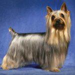 caine Silky Terrier