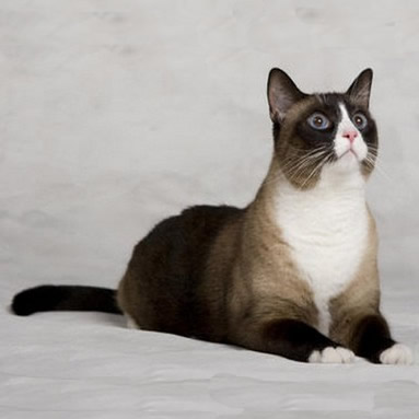 Pisica Snowshoe