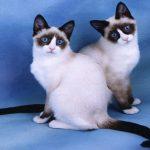 snowshoe pisici mici