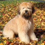 caine Soft coated Wheaten Terrier