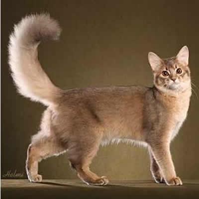 pisica Somaleza