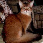 Somaleza pisica acasa
