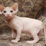 Pisica Sphynx