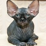 Sphynx pisica neagra