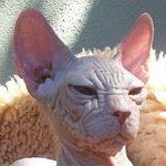 Sphynx pisica fata cutata