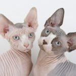 Sphynx pisici gemene
