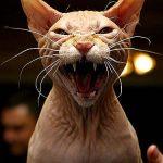 Sphynx pisica isi arata coltii