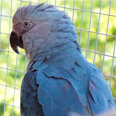 Papagalul Spix