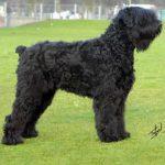 caine Terrier Negru Rusesc