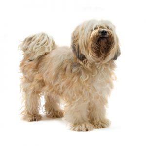 caine Tibetan Terrier