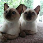 pisica Tonkineza pui mici