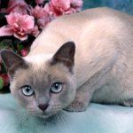 pisica Tonkineza cu flori roz