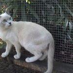 pisica Tonkineza in curte