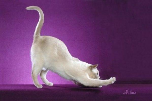 Limbajul cozii la pisici